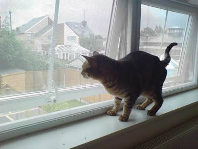 A cat is standing on the windowsill, and the window is made of galvanized insect screen.